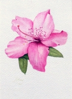 Pink Azealea